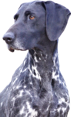 brenilly-diamond-dog-cropped-head
